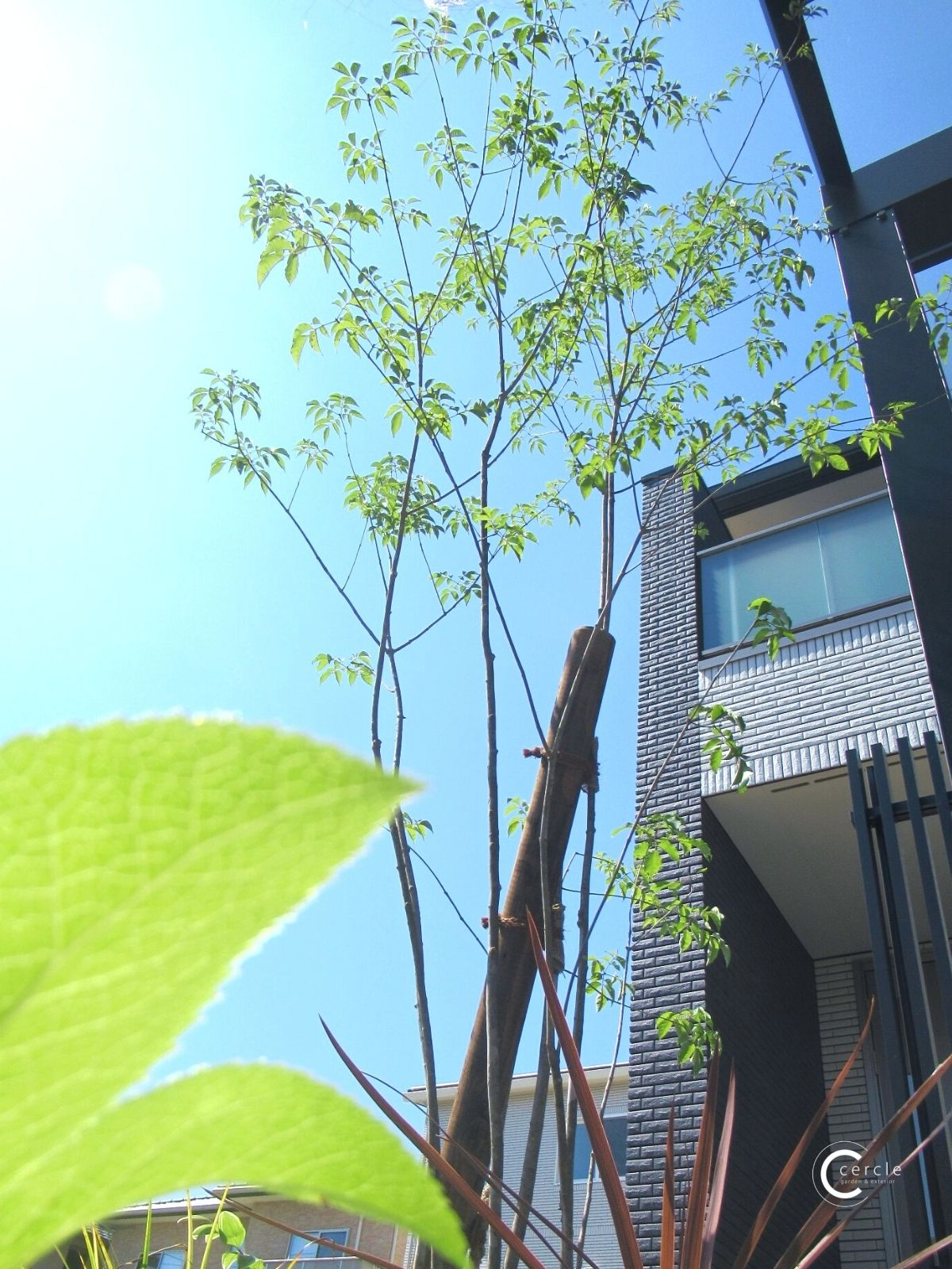 シンボルツリー(アオダモ)